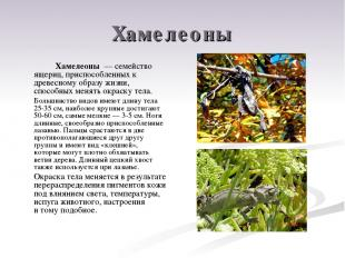 Хамелеоны Хамелеоны — семейство ящериц, приспособленных к древесному образу жиз