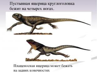 Пустынная ящерица круглоголовка бежит начетырех ногах. Плащеносная ящерица може
