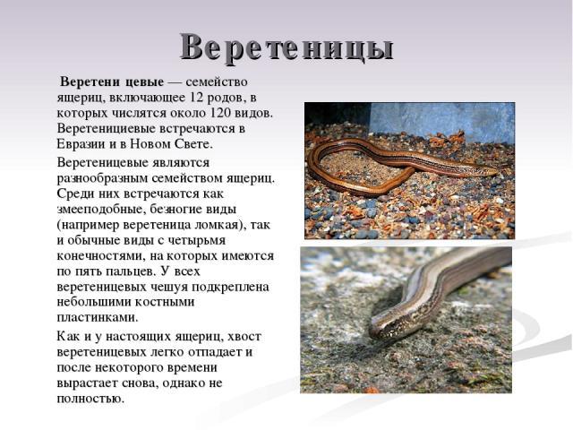 Веретеницы Веретени цевые — семейство ящериц, включающее 12 родов, в которых числятся около 120 видов. Веретенициевые встречаются в Евразии и в Новом Свете. Веретеницевые являются разнообразным семейством ящериц. Среди них встречаются как змееподобн…