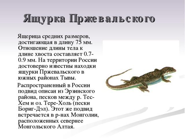Ящурка Пржевальского Ящерица средних размеров, достигающая в длину 75 мм. Отношение длины тела к длине хвоста составляет 0.7-0.9 мм. На территории России достоверно известны находки ящурки Пржевальского в южных районах Тывы. Распространенный в Росси…