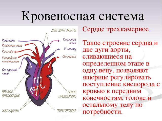 Сердце трехкамерное. Такое строение сердца и две дуги аорты, сливающиеся на определенном этапе в одну вену, позволяют ящерице регулировать поступление кислорода с кровью кпередним конечностям, голове и остальному телу по потребности. Кровеносная система