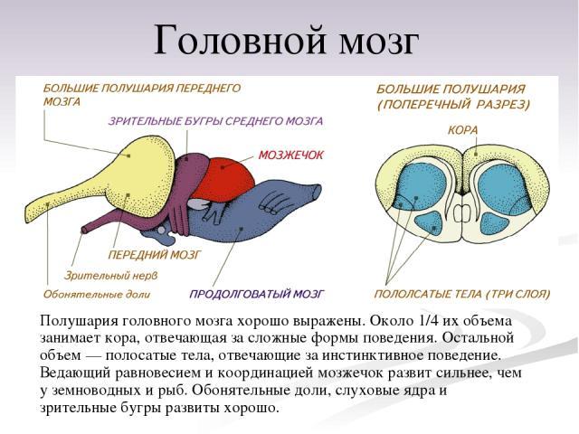 Полушария головного мозга хорошо выражены. Около 1/4 их объема занимает кора, отвечающая за сложные формы поведения. Остальной объем— полосатые тела, отвечающие за инстинктивное поведение. Ведающий равновесием и координацией мозжечок развит сильнее…