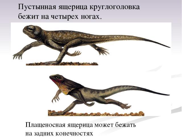 Пустынная ящерица круглоголовка бежит начетырех ногах. Плащеносная ящерица может бежать назадних конечностях