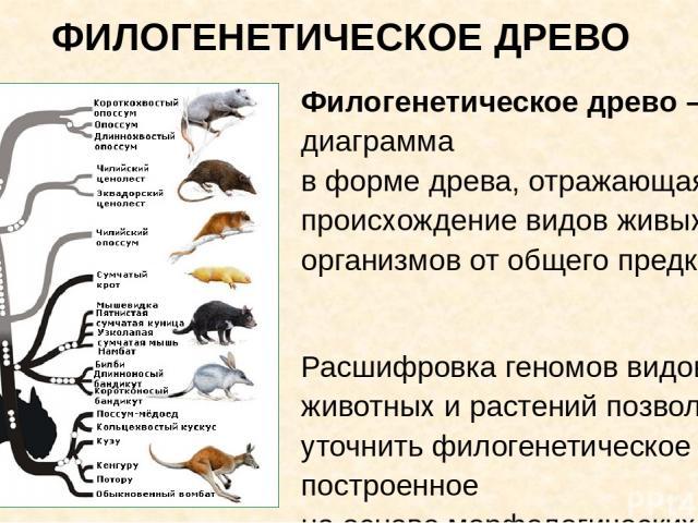ФИЛОГЕНЕТИЧЕСКОЕ ДРЕВО Филогенетическое древо – диаграмма в форме древа, отражающая происхождение видов живых организмов от общего предка. Расшифровка геномов видов животных и растений позволили уточнить филогенетическое древо, построенное на основе…
