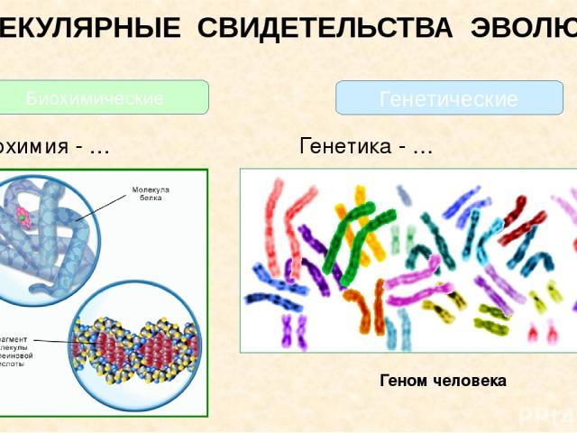 МОЛЕКУЛЯРНЫЕ СВИДЕТЕЛЬСТВА ЭВОЛЮЦИИ Биохимия - … Генетика - … Геном человека Биохимические Генетические