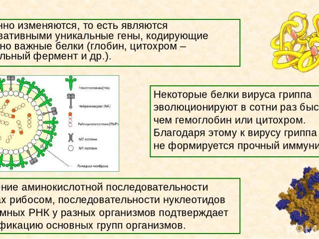 Медленно изменяются, то есть являются консервативными уникальные гены, кодирующие жизненно важные белки (глобин, цитохром – дыхательный фермент и др.). Некоторые белки вируса гриппа эволюционируют в сотни раз быстрее, чем гемоглобин или цитохром. Бл…