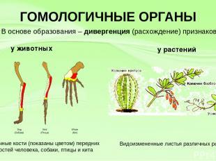 ГОМОЛОГИЧНЫЕ ОРГАНЫ у животных у растений Гомологичные кости (показаны цветом) п