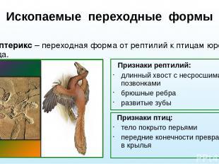 Ископаемые переходные формы Археоптерикс – переходная форма от рептилий к птицам