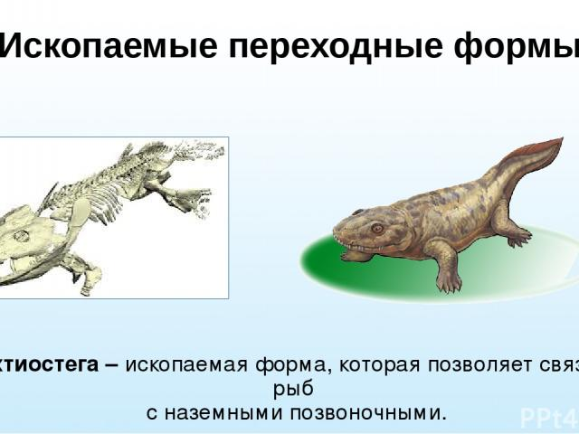 Ископаемые переходные формы Ихтиостега – ископаемая форма, которая позволяет связать рыб с наземными позвоночными.
