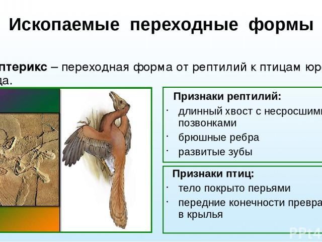Ископаемые переходные формы Археоптерикс – переходная форма от рептилий к птицам юрского периода. Признаки рептилий: длинный хвост с несросшимися позвонками брюшные ребра развитые зубы Признаки птиц: тело покрыто перьями передние конечности превраще…