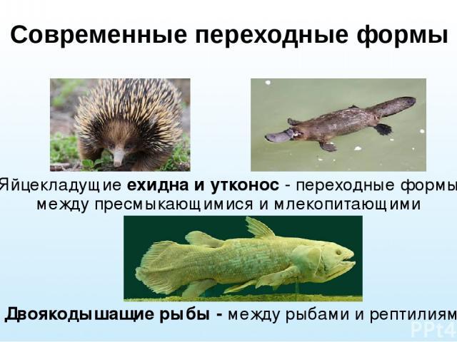 Современные переходные формы Яйцекладущие ехидна и утконос - переходные формы между пресмыкающимися и млекопитающими Двоякодышащие рыбы - между рыбами и рептилиями.