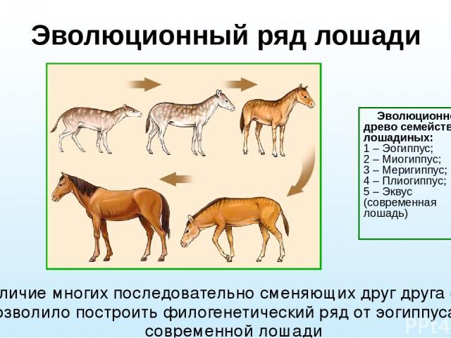 Эволюционный ряд лошади Наличие многих последовательно сменяющих друг друга форм позволило построить филогенетический ряд от эогиппуса до современной лошади Эволюционное древо семейства лошадиных: 1–Эогиппус; 2–Миогиппус; 3–Меригиппус; 4–Пли…
