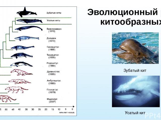 Эволюционный ряд китообразных Зубатый кит Усатый кит