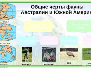 Общие черты фауны Австралии и Южной Америки Сумчатые млекопитающие Бескилевые пт