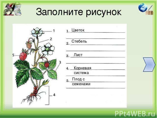 Заполните рисунок Цветок Стебель Лист Корневая система Плод с семенами