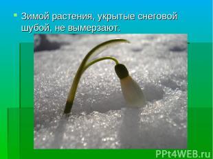 Зимой растения, укрытые снеговой шубой, не вымерзают.