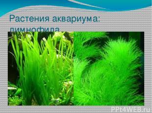 Растения аквариума: лимнофила