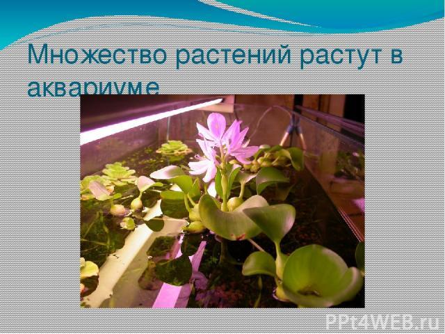 Множество растений растут в аквариуме