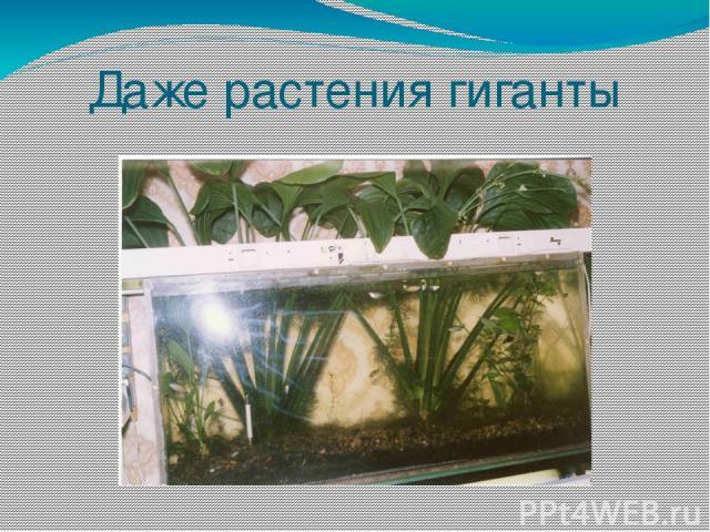 Даже растения гиганты