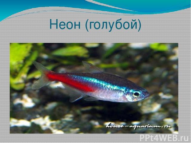 Неон (голубой)