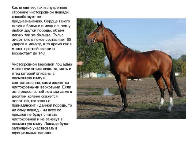 Как внешнее, так и внутреннее строение чистокровной лошади способствует ее предназначению. Сердце такого скакуна больше и мощнее, чем у любой другой породы, объем легких так же больше. Пульс животного в покое составляет 60 ударов в минуту, в то врем…