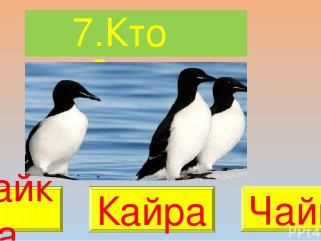 7.Кто это? Сайка Кайра Чайка