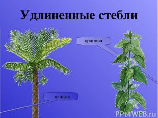Функции стебля Проводящая Опорная Запасающая Стебель нужен растению прежде всего