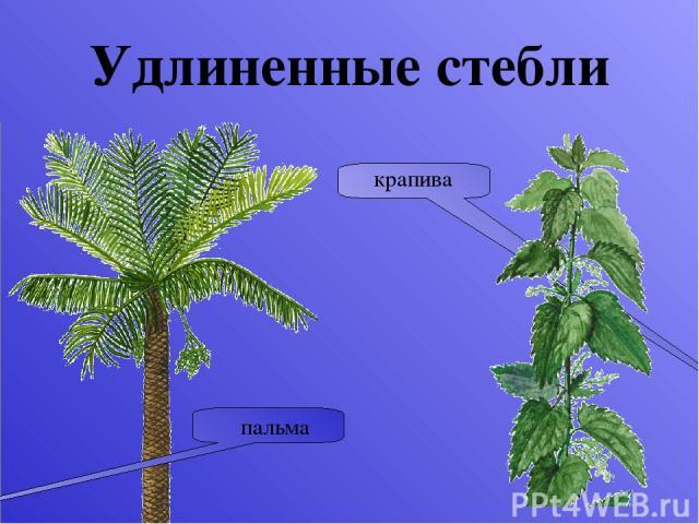 Функции стебля Проводящая Опорная Запасающая Стебель нужен растению прежде всего для того, чтобы проводить воду от корня к органам фотосинтеза — листьям, атакже для того, чтобы удерживать и располагать листья необходимым образом. Но кроме этого он …