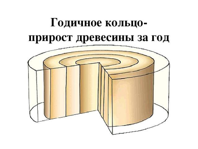 Выводы: Стебель важная часть побега Выполняет различные функции: проводящую, опорную, запасающую Внешнее и внутреннее строение обусловлено функциями, которые выполняет стебель По древесине идет восходящий ток, по лубу-нисходящий Стебель растет в тол…