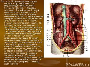 Рис. 219. Мочевые органы (organa urinaria) в брюшной полости. Вид спереди. Прист
