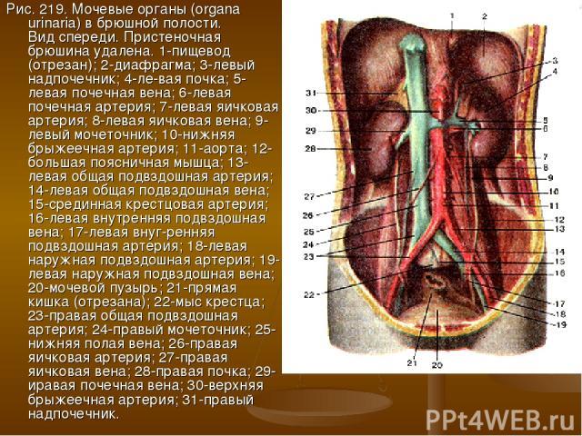 Рис. 219. Мочевые органы (organa urinaria) в брюшной полости. Вид спереди. Пристеночная брюшина удалена. 1-пищевод (отрезан); 2-диафрагма; 3-левый надпочечник; 4-ле-вая почка; 5-левая почечная вена; 6-левая почечная артерия; 7-левая яичковая артерия…