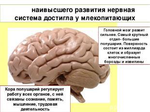 наивысшего развития нервная система достигла у млекопитающих Головной мозг разви