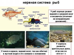 нервная система рыб У хариуса развиты зрительные доли, итак как он обитает в про