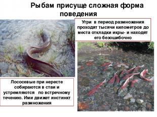 Рыбам присуще сложная форма поведения Угри в период размножения проходят тысячи