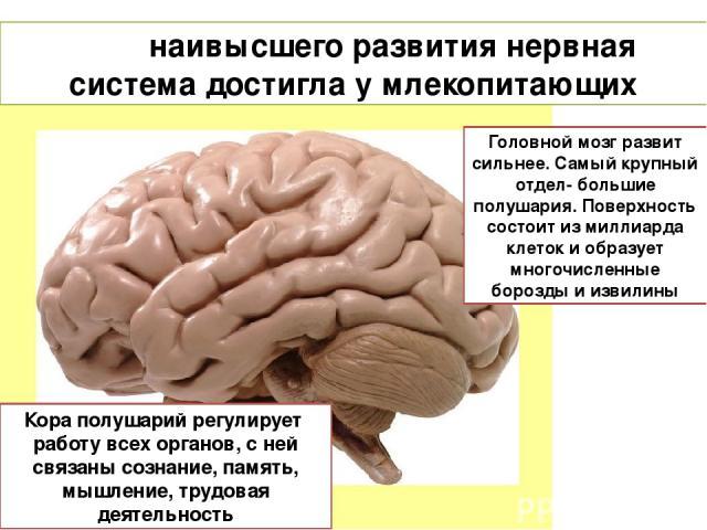 наивысшего развития нервная система достигла у млекопитающих Головной мозг развит сильнее. Самый крупный отдел- большие полушария. Поверхность состоит из миллиарда клеток и образует многочисленные борозды и извилины Кора полушарий регулирует работу …