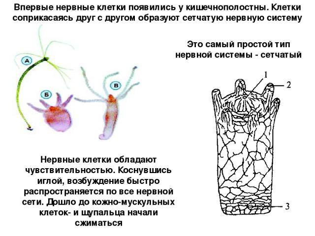 Впервые нервные клетки появились у кишечнополостны. Клетки соприкасаясь друг с другом образуют сетчатую нервную систему Это самый простой тип нервной системы - сетчатый Нервные клетки обладают чувствительностью. Коснувшись иглой, возбуждение быстро …