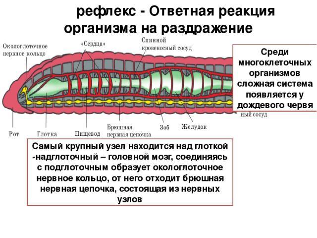 рефлекс - Ответная реакция организма на раздражение Среди многоклеточных организмов сложная система появляется у дождевого червя Самый крупный узел находится над глоткой -надглоточный – головной мозг, соединяясь с подглоточным образует окологлоточно…