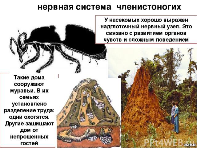 нервная система членистоногих Такие дома сооружают муравьи. В их семьях установлено разделение труда: одни охотятся. Другие защищают дом от непрошенных гостей У насекомых хорошо выражен надглоточный нервный узел. Это связано с развитием органов чувс…