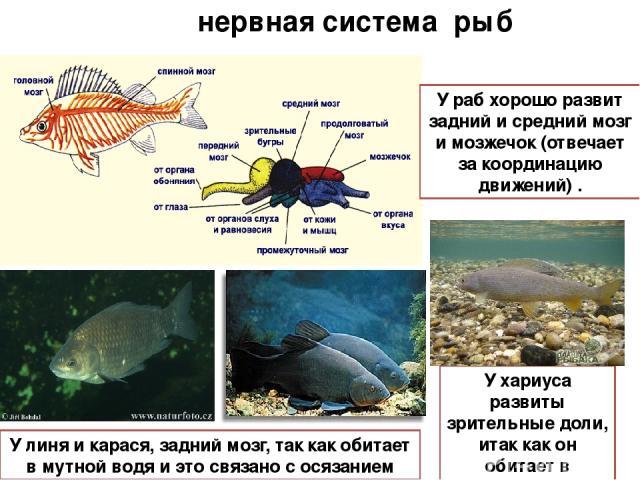 нервная система рыб У хариуса развиты зрительные доли, итак как он обитает в прозрачной воде У раб хорошо развит задний и средний мозг и мозжечок (отвечает за координацию движений) . У линя и карася, задний мозг, так как обитает в мутной водя и это …