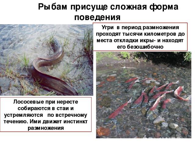 Рыбам присуще сложная форма поведения Угри в период размножения проходят тысячи километров до места откладки икры- и находят его безошибочно Лососевые при нересте собираются в стаи и устремляются по встречному течению. Ими движет инстинкт размножения
