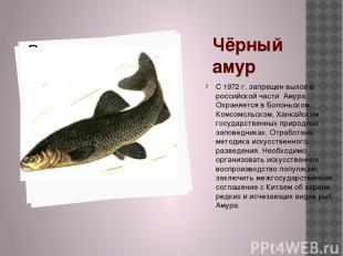 Чёрный амур С 1972 г. запрещен вылов в российской части Амура. Охраняется в Боло