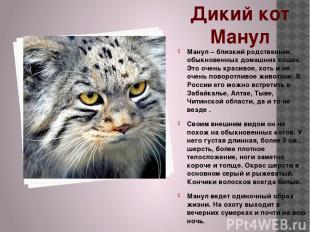 Дикий кот Манул Манул – близкий родственник обыкновенных домашних кошек. Это оче