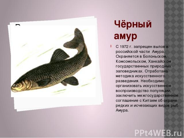 Чёрный амур С 1972 г. запрещен вылов в российской части Амура. Охраняется в Болоньском, Комсомольском, Ханкайском государственных природных заповедниках. Отработана методика искусственного разведения. Необходимо организовать искусственное воспроизво…