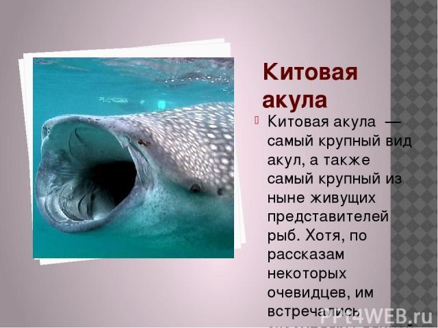 Китовая акула Китовая акула — самый крупный вид акул, а также самый крупный из ныне живущих представителей рыб. Хотя, по рассказам некоторых очевидцев, им встречались экземпляры длиной от 18 до 20 м, самый крупный когда-либо измеренный экземпляр нас…