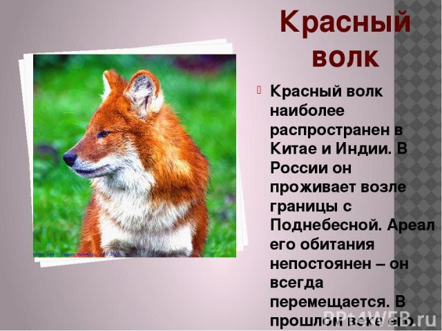 Красный волк Красный волк наиболее распространен в Китае и Индии. В России он проживает возле границы с Поднебесной. Ареал его обитания непостоянен – он всегда перемещается. В прошлом веке его можно было встретить даже в горах Алтая, но под влиянием…