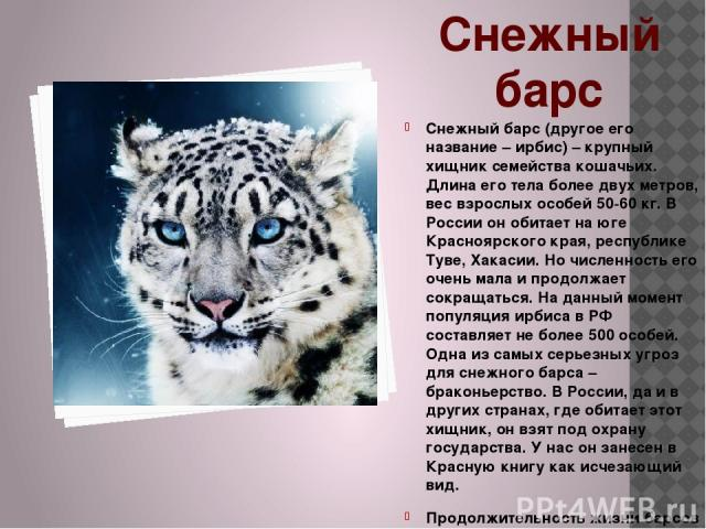 Снежный барс Снежный барс (другое его название – ирбис) – крупный хищник семейства кошачьих. Длина его тела более двух метров, вес взрослых особей 50-60 кг. В России он обитает на юге Красноярского края, республике Туве, Хакасии. Но численность его …
