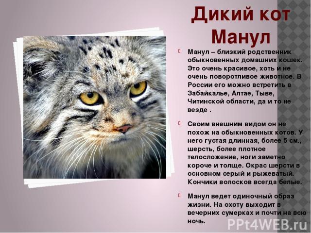 Дикий кот Манул Манул – близкий родственник обыкновенных домашних кошек. Это очень красивое, хоть и не очень поворотливое животное. В России его можно встретить в Забайкалье, Алтае, Тыве, Читинской области, да и то не везде . Своим внешним видом он …