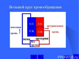 Большой круг кровообращения П.П П.Ж. Л.П. Л.Ж. Все органы артерия вена артериаль