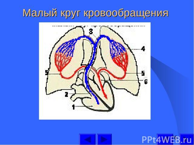 Малый круг кровообращения