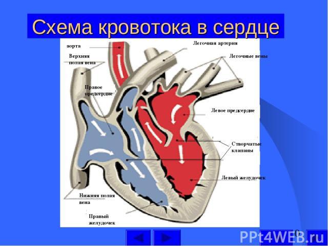 Схема кровотока в сердце Левый желудочек Левое предсердие Легочные вены Легочная артерия аорта Верхняя полая вена Правое предсердие Нижняя полая вена Правый желудочек Створчатые клапаны